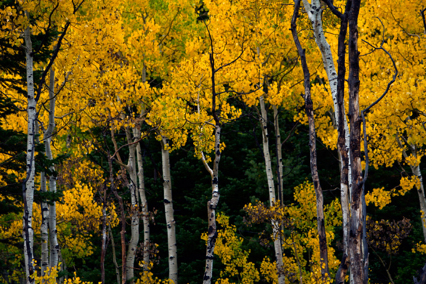 tree identification Archives - Wild About Utah
